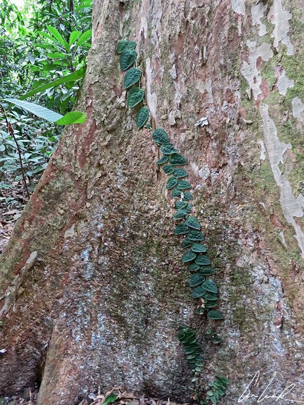 Les plantes grimpantes, s'accrochent et s'agrippent pour se développer sur les troncs d'arbre de la forêt tropicale.