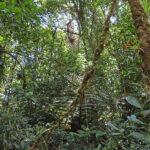 Au cœur des forêts tropicales du Costa Rica, des lianes géantes épaisses tels des câbles semblent suspendues au milieu des arbres.