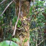 De splendides orchidées jaunes épiphytes vivent fixés aux arbres dans les des forêts tropicales humides du Costa Rica.