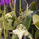 L'orchidée araignée a un appendice d'aspect velouté, qui imite l'abdomen d'une araignée. Les fleurs elles-mêmes sont mouchetées de noir-violet.
