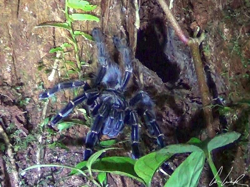 La mygale est facilement reconnaissable à sa taille démesurée (8 à 10 cm sans compter les pattes) et à ses appendices velus.