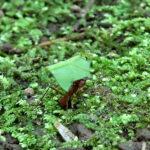 Les fourmis coupe-feuilles découpent en petits morceaux à l'aide de leurs puissantes mandibules les feuilles des arbres entourant leur colonie.