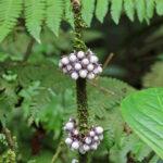 Les forêts tropicales du Costa Rica regorgent de plantes qui semblent dater de la préhistoire comme ces petites grappes blanches et violettes.