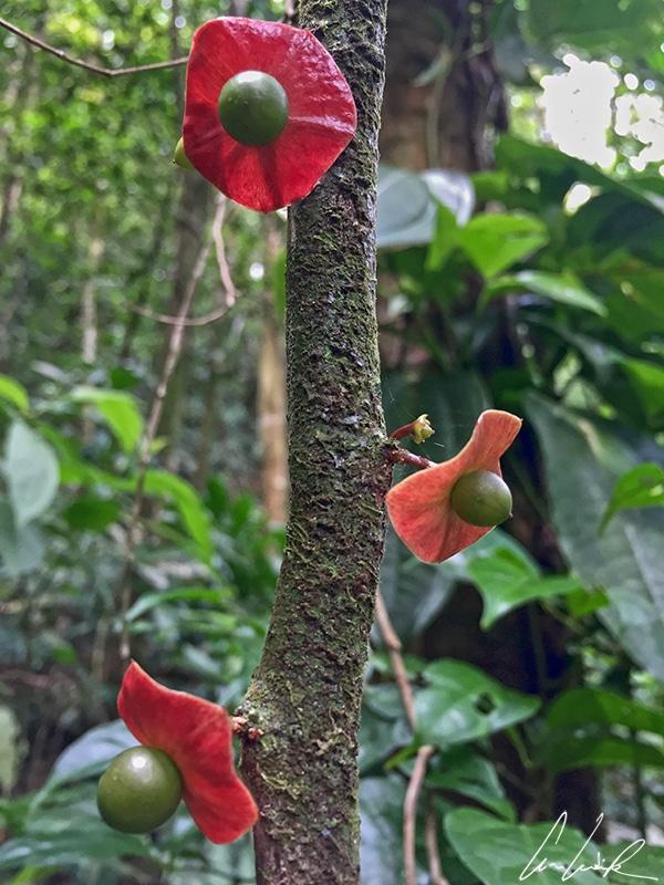 Autre plante d'un autre temps aperçue dans la forêt tropicale: elle a l'aspect d'une une olive verte surmontée d'une ombrelle rouge.