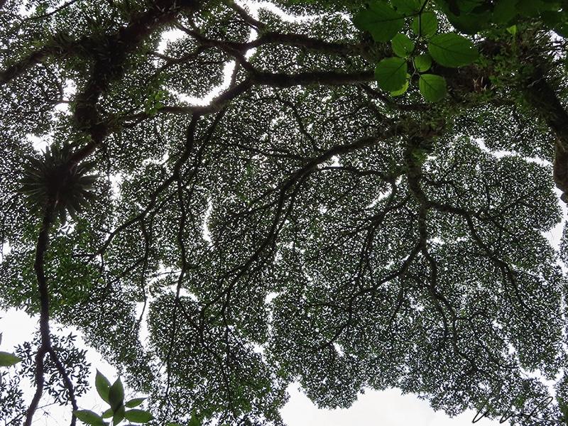La canopée semble dense et jointive vue depuis le sol alors mais les cimes des arbres ne se touchent pas: c'est la « timidité des cimes ».