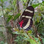 Heliconius hewitsoni est un papillon vivant dans les forêts pluviales. Il possède des ailes noires avec deux bandes blanches avec du rouge à la base des ailes postérieures.