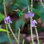 L'ariane à ventre gris est un colibri au plumage vert-bronze avec la queue rousse. Il vient consommer le nectar des fleurs de la famille des Verbénacées.