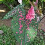 L'Arum est une plante qui aiment les milieux humides. Les inflorescences, énorme spathe blanche, émergent au-dessus du feuillage. Les feuilles sont en en forme de flèche.