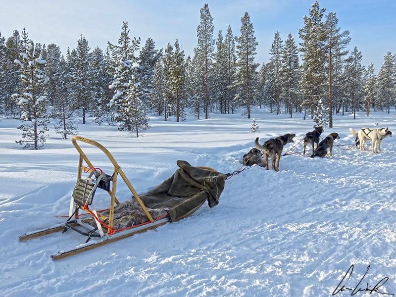 Départ en chien de traîneau du chenil, les chiens attelés sont déjà prêts au départ ! Faire du chien de traîneau en Laponie est une expérience unique de découvrir la Laponie l'hiver.