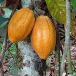 Deux cabosses de cacao ovoïdes pointues, longues d'une vingtaine de centimètres et pesant de 300 à 500 grammes. Lorsque les cabosses sont mûres, leur couleur vire au jaune.