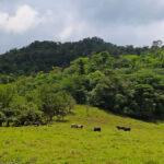 Sur les pentes volcaniques de l'Arenal, la terre est d'une fertilité sans égale. La végétation est luxuriante et le bétail broute dans les vastes pâturages.