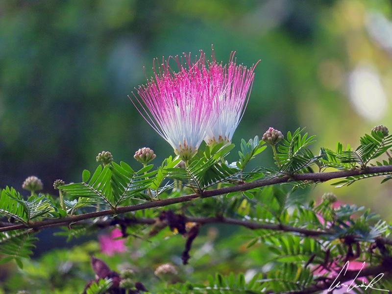 Les fleurs de l'arbre à pluie sont semblables à de petites houppettes. Chacune étant formée de filament d'étamines (rose-rouge en haut et blanc à la base).