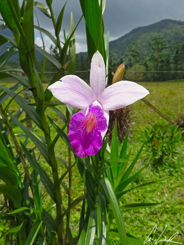 L'orchidée Bambou doit son surnom à ses tiges aux allures de cannes de bambou. La fleur est rose pâle avec l'extrémité améthyste, et le labelle tacheté.