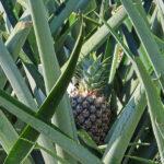 Qui n'a pas mangé son ananas du Costa Rica ? L'ananas se reconnait à ses longues feuilles rubanées en forme de glaive, piquantes et coriaces.