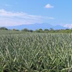 La plantation d'ananas peut se faire selon des schémas différents, mais la meilleure utilisation de l'espace est obtenue en réalisant une plantation en doubles rangs.