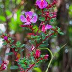 Le Monochaetum vulcanicum est un petit arbuste du Costa Rica de 1 à 3 mètres avec de petites feuilles et des fleurs en cymes d'un rose soutenu.