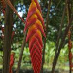 L'Héliconia, faux oiseau du paradis, est une beauté tropicale. Ses inflorescences en épis, dressées ou pendantes, sont constituées de bractées très colorées.