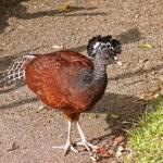 Un Grand Hocco femelle au plumage brun rougeâtre avec une tête noire qui porte une huppe bouclée. Sa queue est rousse avec des rayures blanches.