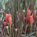Le gingembre ruche (Zingiber spectabile) ressemble à un nid d'abeille. L'inflorescence est formée par les bractées de couleur cuivre doré puis rouges à maturité.
