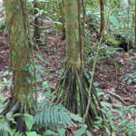 Dans la forêt tropicale costaricienne, le tronc de certains arbres est garni de racines qui plongent vers le sol. Des plantes grimpantes s'accrochent souvent autour du tronc y compris des lianes.