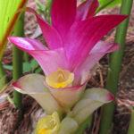 Cousin du gingembre, le Curcuma Longa est reconnaissable à son inflorescence en épis rose. Ces bractées abritent les vraies fleurs, plus petites.