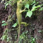 Ses longs doigts griffus permettent à ce lézard vert de grimper facilement dans les arbres. Comme son nom l'indique, la couleur de ce lézard est d'un vert vif.
