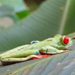 La rainette aux yeux rouges, symbole officieux du Costa Rica se camoufle parfaitement dans la forêt tropicale en dormant cachée sous une palme en journée.