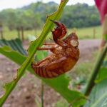 Est-ce cet étrange insecte qui a grignoté toutes les feuilles qui l'entourent ? En fait il s'agit seulement d'une carapace de mue de cigale !