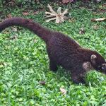 Le coati à nez blanc ou coati brun a un pelage marron. Des taches blanches sont présentes autour des yeux, du museau et sur les joues, d'où le nom de cet animal.