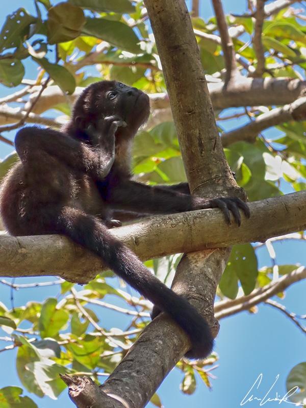 Le singe hurleur noir possède une longue queue préhensile dont il se sert comme d'un 5ème membre.