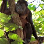 Le singe hurleur est le singe le plus grand d'Amérique. Le pelage des mâles est noir et celui des femelles est plus clair, couleur beige-brun.