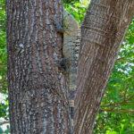 L'iguane, animal phare du Costa Rica, lézarde la plupart du temps au sommet des arbres, là où la luminosité est à son maximum.