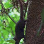 Un écureuil à queue rouge très vif et adroit descend le long d'un tronc d'arbre. Ce rongeur arboricole à la queue aussi longue que son corps est un excellent grimpeur.