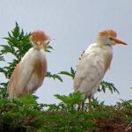 Le Héron-garde-bœuf est un échassier de petite taille au plumage blanc orné de plumes de couleur chamois pendant la saison de reproduction sur la tête, le dos et la poitrine.