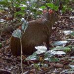 L'agouti, ce cousin éloigné du cochon d'Inde, fait partie des plus gros rongeurs du monde. Ses oreilles sont courtes et arrondies. Il a de petites pattes.