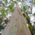 L'eucalyptus arc-en-ciel ou eucalyptus deglupta a la particularité de perdre en permanence des bouts de son écorce, qui se détache en longs et fins lambeaux.