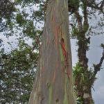 L'eucalyptus arc-en-ciel ou eucalyptus deglupta («Degluptere » peler en latin) est un arbre haut en couleur: il peut atteindre jusqu'à 75 mètres de haut.
