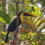 Le toucan tocard ou toucan de Swainson a un plumage sombre, un grand bec bicolore avec une bande supérieure couleur citron. Ses pattes sont de couleur bleue.