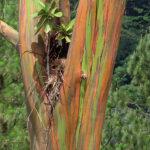 Le tronc de l'eucalyptus arc-en-ciel est une mosaïque de couleurs. Le tronc qui change de couleur avec le temps: vert pâle, puis bleu, violet, orange et enfin marron.