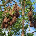 Les nids du Cassique de Montezuna ressemblent à des balancelles suspendues aux branches des eucalyptus arc-en-ciel. En moyenne, une colonie compte une trentaine de nids.