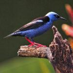 Le Guit-guit Saï est un oiseau au plumage bleu vif. Sa queue et ses ailes sont noires. Sa tête est bleu vif, mais sa calotte est plutôt turquoise et ses pattes sont rouge vif.