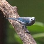 Le Tangara évêque mâle est un petit oiseau de 17 cm environ au beau plumage en nuance de gris à gris bleuté. Ses ailes et sa queue sont couleur bleu azur.