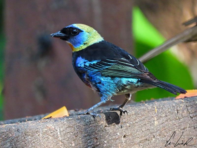 Le Calliste à coiffe d'or est un petit oiseau de 13 cm environ. Reconnaissable à sa tête d'un jaune intense, il arbore un splendide plumage bleu et noir scintillant.