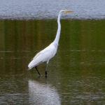 La Grande Aigrette a une silhouette élancée avec un très long cou. Son plumage est entièrement blanc, son bec est jaune orangé et ses pattes sont noires.