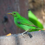 La femelle de Tangara émeraude à un plumage vert-pomme terne. Le menton et le bas de l'abdomen sont jaunâtres. Le bec et les pattes sont identiques à ceux du mâle.