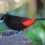 Le Tangara à croupion rouge mâle arbore un beau plumage noir et un croupion rouge écarlate. Son bec et ses pattes sont bleus.