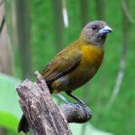La femelle du Tangara à croupion rouge a un plumage moins voyant avec un poitrail fauve et une tête grisâtre et bien sûr l'absence de rouge au croupion.