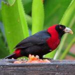 Le Tangara ceinturé est un oiseau au plumage noir avec un collier rouge couvrant la nuque, le cou et le ventre. Son bec est bleu et ses pattes sont bleu-gris.