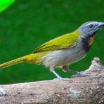 Le Saltator des grands-bois est reconnaissable à sa tête grise avec des sourcils blancs et une gorge chamois bordée de noir. Son dos, ses ailes et sa queue sont vert olive.