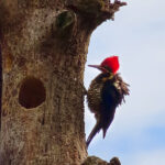 The Pileated Woodpecker is a very large bird. It has a long neck and a triangular red crest that sweeps off the back of its head. The body is entirely black except for the white striped throat.